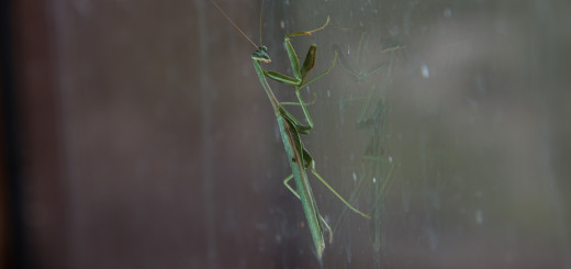 PrayingMantis-KitchenWindow-09152014