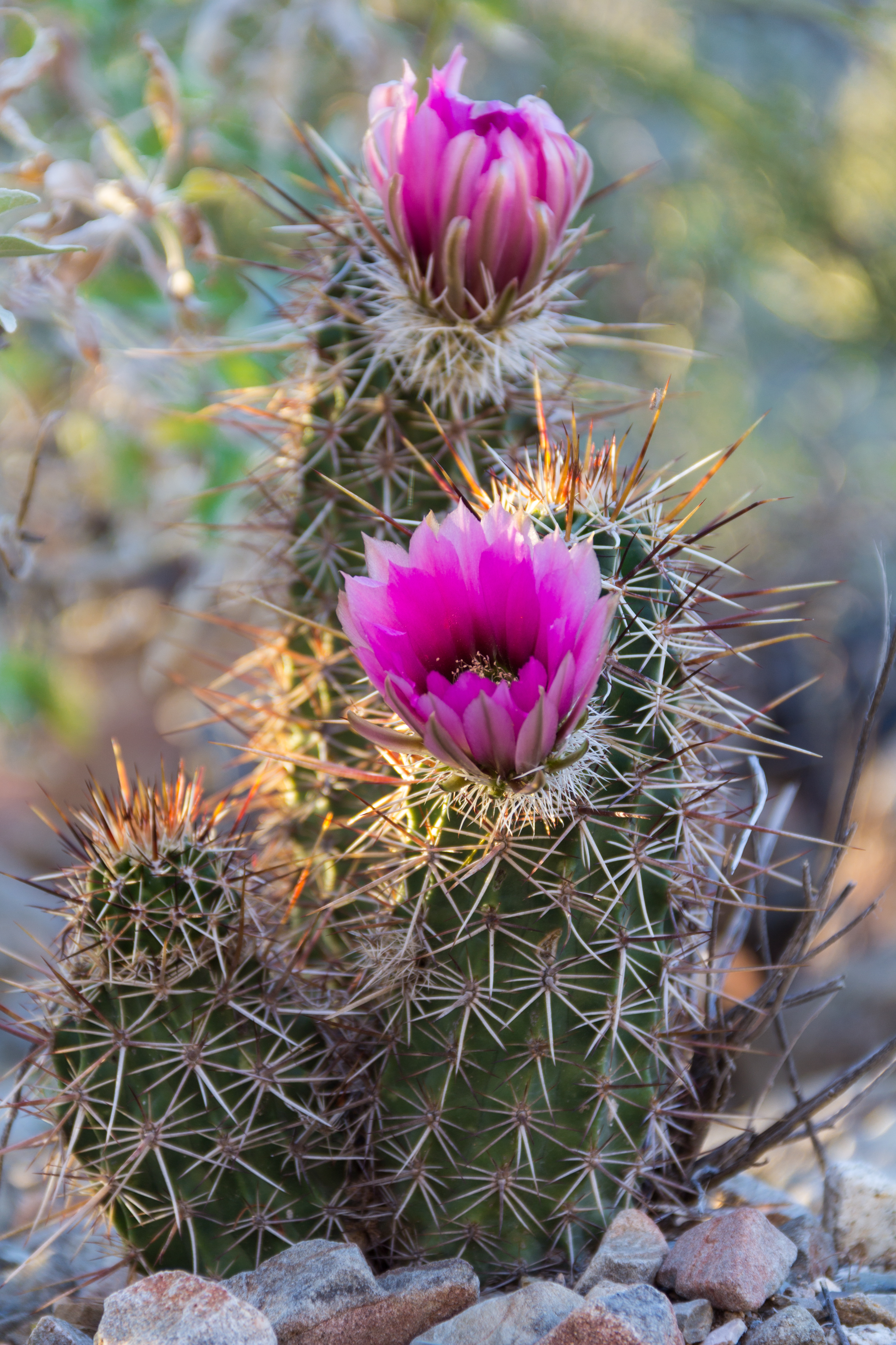 KingCanyon-CactusFlower-03242015-1