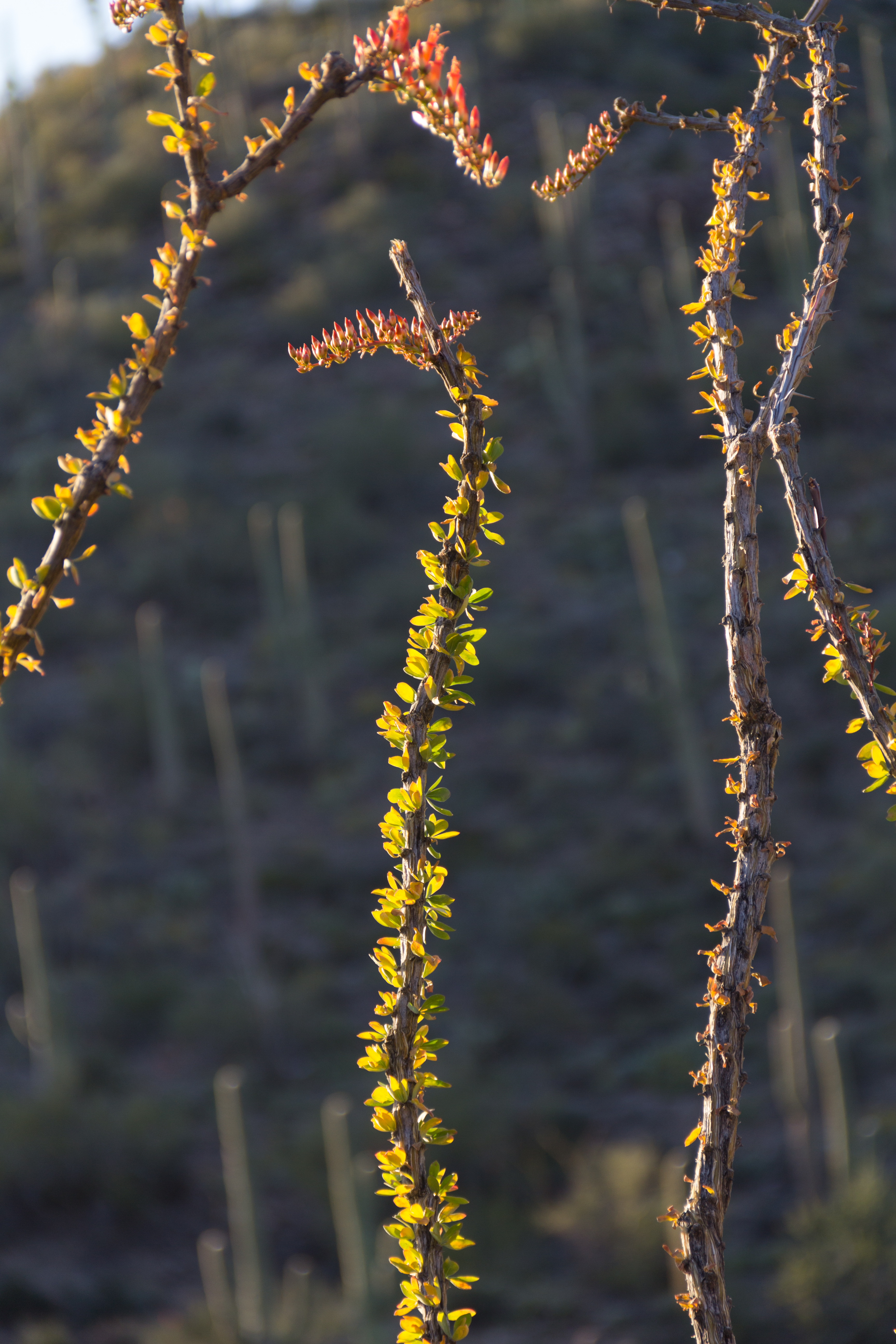 KingCanyon-Ocotillo-03242015-1